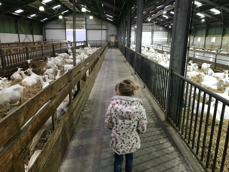 Heel veel geiten op stal