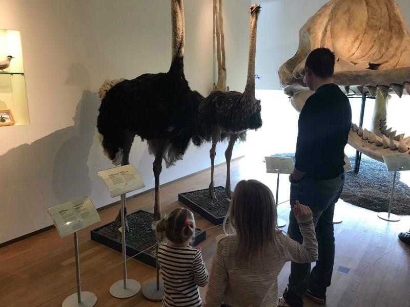 Opgezette struisvogel in het Natuurhistorisch museum